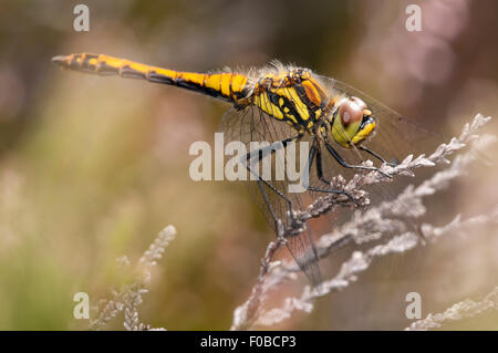 Black Darter dragonfly (Sympetrum danae) adult female perched on a sprig of heather at Thursley Common National - Stock Photo