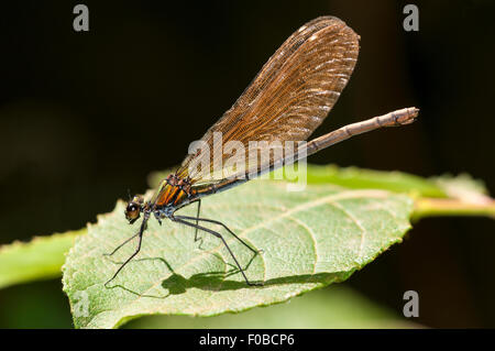 Beautiful demoiselle (Calopteryx virgo) adult female perched on a leaf at Thursley Common National Nature Reserve, - Stock Photo