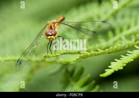 Black Darter dragonfly (Sympetrum danae) adult female perched on a frond of bracken at Thursley Common National - Stock Photo