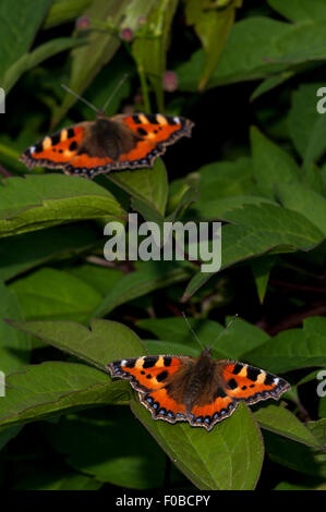Small tortoiseshell (Aglais urticae) two adults basking on a shrub in a garden in Sowerby, North Yorkshire. July. - Stock Photo