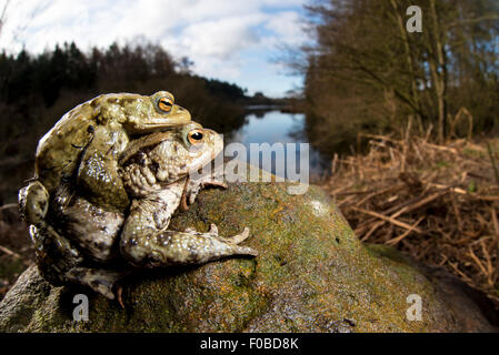 A pair of common toads (Bufo bufo) looking at Cod Beck Reservoir near Osmotherley in the North York Moors National - Stock Photo