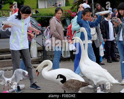 Tourists at Bowness-On-Windermere feeding the swans and birds chips end up loosing most of their meal - Stock Photo