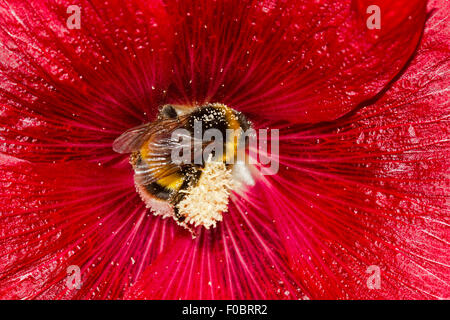 Large earth bumblebee (Bombus terrestris), covered with pollen, in the flower of a red Common hollyhock (Alcea rosea) - Stock Photo