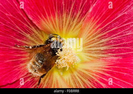 Large earth bumblebee (Bombus terrestris), covered with pollen, in the flower of a pink-red Common hollyhock (Alcea - Stock Photo