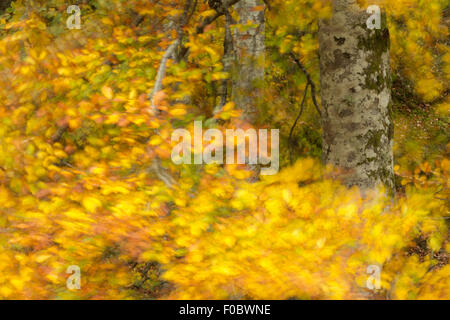 Common beech (Fagus sylvatica) autumnal leaves blowing in wind - Stock Photo