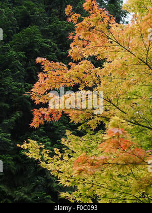 Acer Palmatum Sango-Kaku (the coral bark maple) growing next to a dark green conifer, in August - Stock Photo