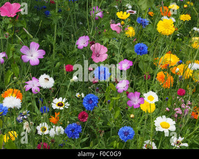 Planting of mixed annual flowers, including pot marigolds, mallow, welsh poppies, cornflowers, cranesbill, cosmos - Stock Photo