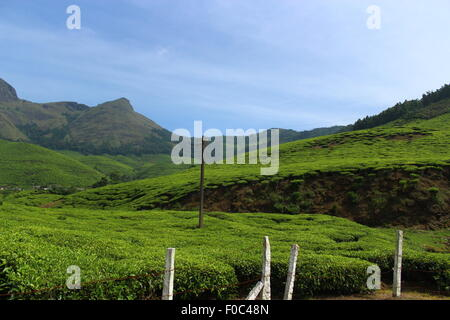 View of a tea plantation munnar, kerala, India, Asia - Stock Photo