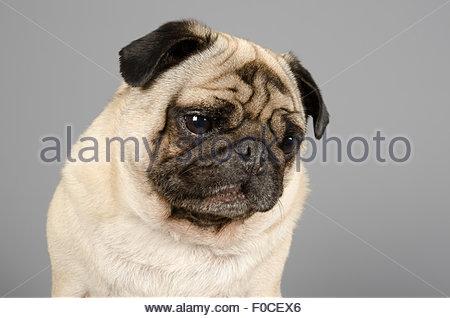George the pug. - Stock Photo