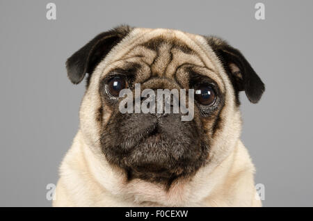 George the pug. - Stock Photo