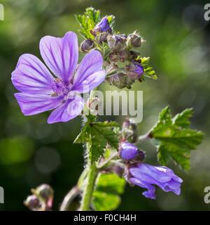 Common mallow / cheeses /  high mallow / tall mallow (Malva sylvestris) in flower - Stock Photo