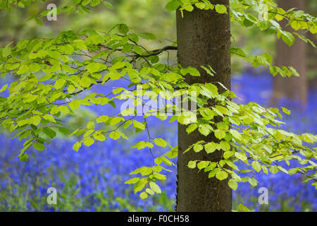 Foliage of beech tree (Fagus sylvatica) and bluebells (Endymion nonscriptus) in flower in broadleaf forest in spring - Stock Photo
