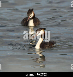 A couple of Great Crested Grebes swimming towards me - Stock Photo