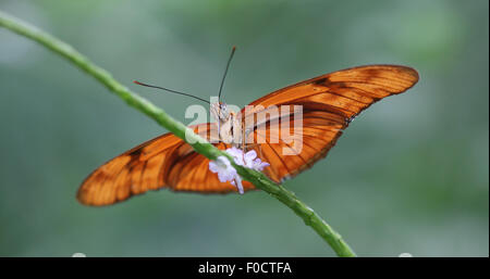 Flame Butterfly, also known as Iulia Butterfly or Great Oto, perched on a green stem with a white flower - Stock Photo