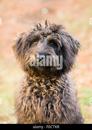 brown schnoodle dog in grassy park - Stock Photo