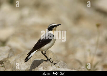 Northern wheatear, (Oenanthe oenanthe) male perched, Bulgaria, May 2008 - Stock Photo