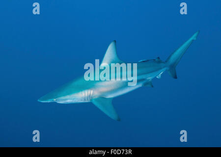 An oceanic blacktip shark swims by with remora in tow, Aliwal Shoal, Umkomaas, KwaZulu-Natal, South Africa. - Stock Photo