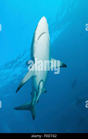 An oceanic blacktip shark swims by with remora in tow and several other sharks in the background, Aliwal Shoal, - Stock Photo