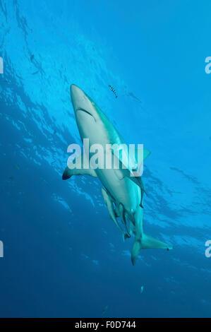 An oceanic blacktip shark swims by with remora and pilot fish in tow, Aliwal Shoal, Umkomaas, KwaZulu-Natal, South - Stock Photo