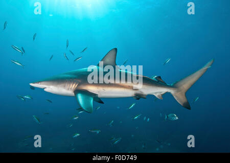 An oceanic blacktip shark swims by with remora in tow against the sunrays, Aliwal Shoal, Umkomaas, KwaZulu-Natal, - Stock Photo