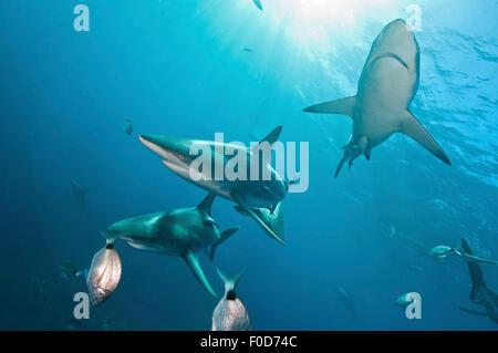 Several oceanic blacktip sharks swim by near the surface against sunrays, Aliwal Shoal, Umkomaas, KwaZulu-Natal, - Stock Photo