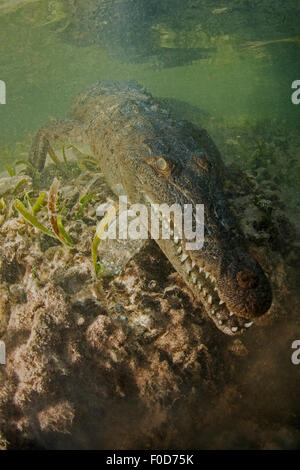 American saltwater crocodile (Crocodylus acutus) in mangrove, Jardines De La Reina, Cuba. - Stock Photo