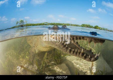 American saltwater crocodile (Crocodylus acutus) in mangrove with mouth open showing teeth, eyes and snout, Jardines - Stock Photo