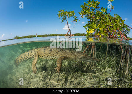 An American saltwater crocodile (Crocodylus acutus) swimming in the mangrove, Jardines De La Reina, Cuba. - Stock Photo