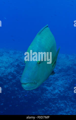 Large Napoleon wrasse in blue water, Palau, Micronesia. - Stock Photo