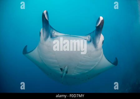 White-bellied giant oceanic manta ray swooping over the reef seen from below, Palau, Micronesia. - Stock Photo