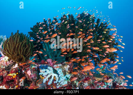 Deanse school of orange, pink and yellow anthias radiating from a colorful reef with green hard coral and yellow - Stock Photo
