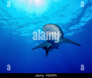 Rays of light shining above an oceanic whitetip shark in Cat Island, Bahamas. - Stock Photo