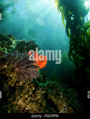 A bright garibaldi near a sea fan with streaming sunrays, Catalina Island, California. Stock Photo