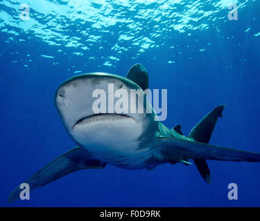 Front view of an oceanic whitetip shark, Cat Island, Bahamas. - Stock Photo