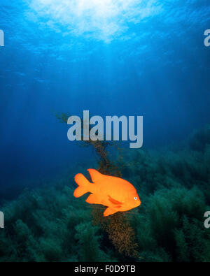 Sunrays shining on a Garibaldi damselfish, Catalina Island, California. Stock Photo