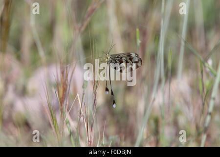 Spoonwing lacewing Thread-winged Antlion (Nemoptera sinuata), Sierra Nevada, Andalucia, Spain.