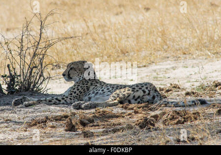 (150813) -- HARARE, Aug. 13 (Xinhua) -- A cheetah rests in Hwange National Park, western Zimbabwe, Aug. 6, 2015. - Stock Photo