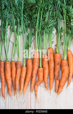Daucus carota. Freshly dug organic carrots