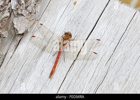 Mature Male Common Darter Dragonfly basking on a log - Stock Photo