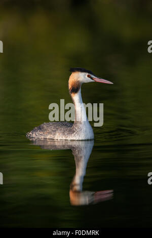 great crested grebe swims in the setting sun on the Norfolk broads - Stock Photo