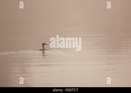 Great crested grebe swims trough the morning mist on the Norfolk broads - Stock Photo