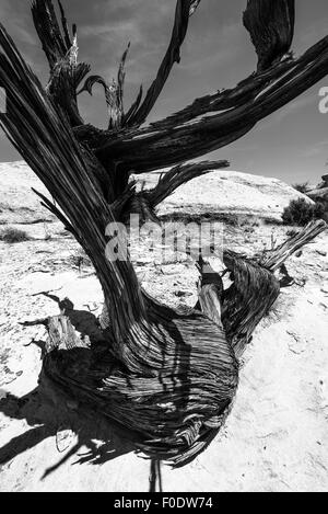 Single Tree in the Slot Canyon Black and White Photography Utah - Stock Photo