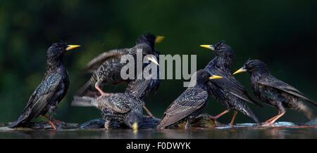 Flock of Common Starling (Sturnus vulgaris) at water, Pusztaszer, Hungary, May 2008. Magic Moments book plate. - Stock Photo