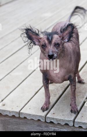 A very old hairless Chinese Crested dog.  The Chinese Crested breed are frequent winners of the ugliest dog contest. - Stock Photo