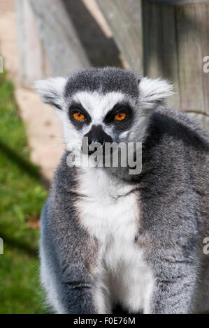 A captive ring tailed lemur (lemur catta) sitting in the sunshine. - Stock Photo
