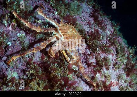 Stone crab (Lithodes maja) with  two legs missing, Lofoten, Norway, November 2008 - Stock Photo