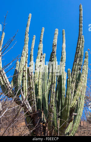 Dense cactus growth in a dry desolate desert. Taganga, Colombia 2014. - Stock Photo