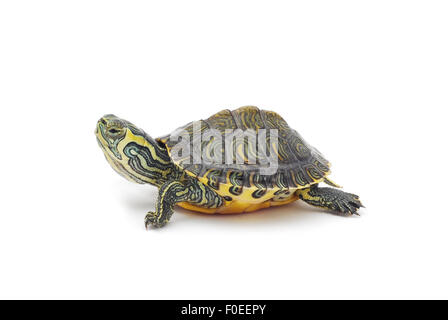 water turtle on white background - Stock Photo
