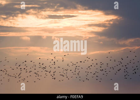 Starling (Sturnus vulgaris) swarm at sunset, East Slovakia, Europe, June 2008 - Stock Photo