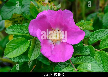 Close up of a pink dog rose (Rosa canina) - Stock Photo